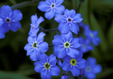 forget-me-not-3