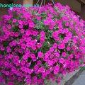 Dạ yến thảo có nhiều màu sắc, được trồng thành hàng trước biệt thự hoặc làm các giỏ hoa treo trên ban công. Các loại hoa cảnh khi được trồng hoặc sắp xếp hợp cảnh quan sẽ tạo cho khuôn viên một không gian lãng mạn và đắm say lòng người